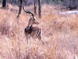 Südafrika Krüger Park - Impala mit Vögeln