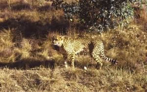 Südafrika Mabula Game Lodge Gepard im Morgenlicht - noch unscharf