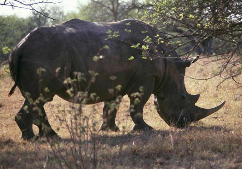 Nashorn im Umfolozi Nationalpark, Südafrika