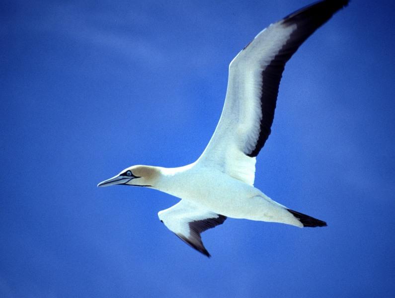 Südafrika Westcoast Lamberts Bay fliegender Cape Gannet Kolonie