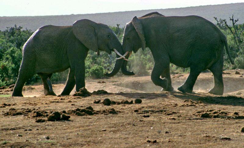 Südafrika Garden Route. Addo Elephant Park: Elefantenkampf