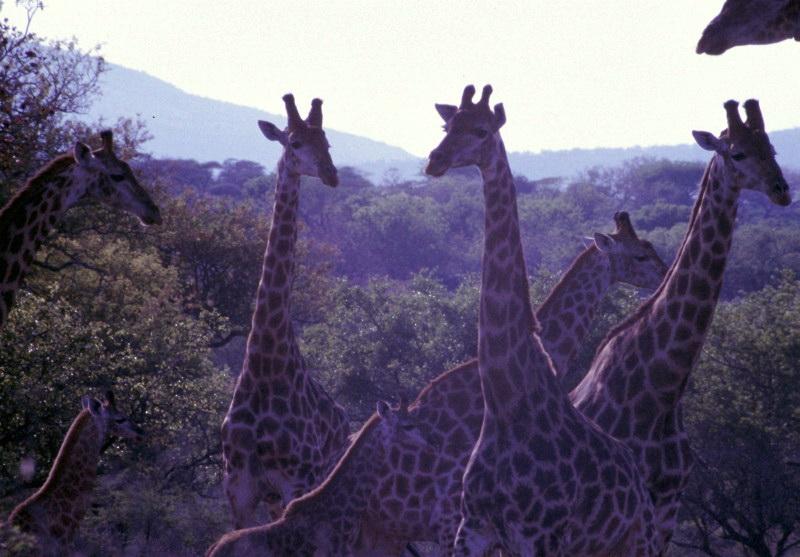 Südafrika Mkuze Giraffen-Gruppe