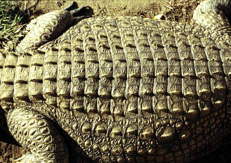 Südafrika Natal Margate Krokodil Rückenmuster