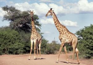 Südafrika: Giraffen