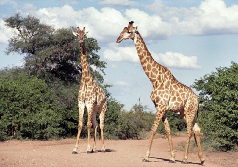 Südafrika: Giraffen im Krüger Park