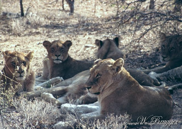 Südafrika Mbali Game Lodge 6 Löwen im Schatten