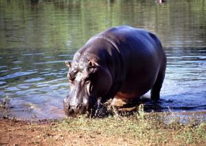 Flusspferd im Mlilwane Game Reserve / Swaziland