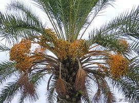 palme dattelpalme 215 Rethymnon Kreta CIMG3961
