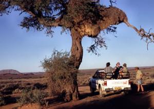 Namibia Abendstimmung auf Schafsfarm Siedelwebervögel-Nest