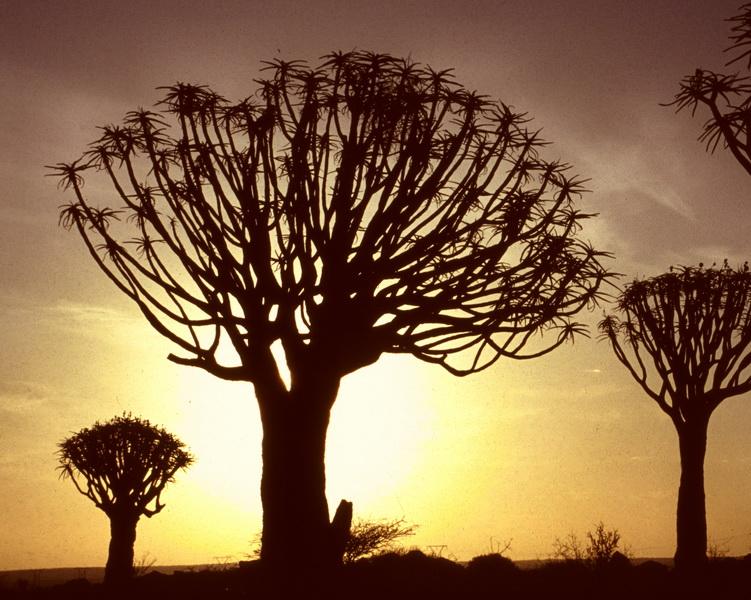 Namibia Köcherbaumwald Köcherbäume vor Sonnenuntergang