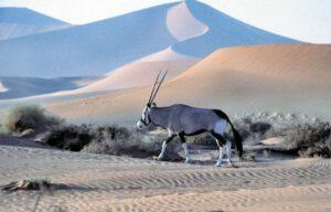 verkleinert-Namibia Oryx früh am Morgen - RSA-Buch04