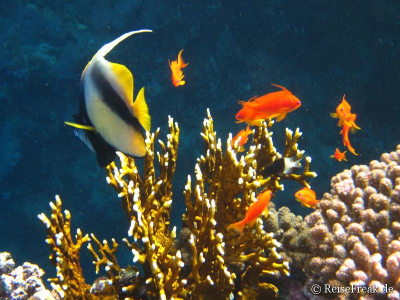 Rotmeer-Wimpelfisch (Heniochus intermedius)  Ägypten Dez 2014 - Marsa Alam - Coraya Bay