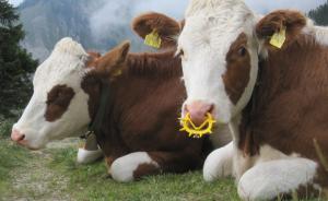 Punker-Kühe auf dem Taubenstein, Spitzingsee, Oberbayern