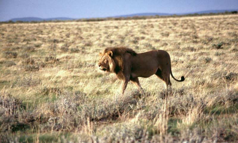 Namibia: Etosha-Pfanne Löwe beim Morgenspaziergang