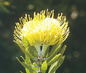 Protea im botanischen Garten Kirstenbosch, Kapstadt