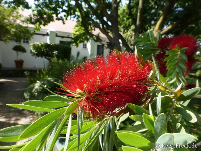 Im Garten des Weingutes Eikendal, zwischen Somerset-West und Stellenbosch gelegen, unweit Kapstadt, Südafrika