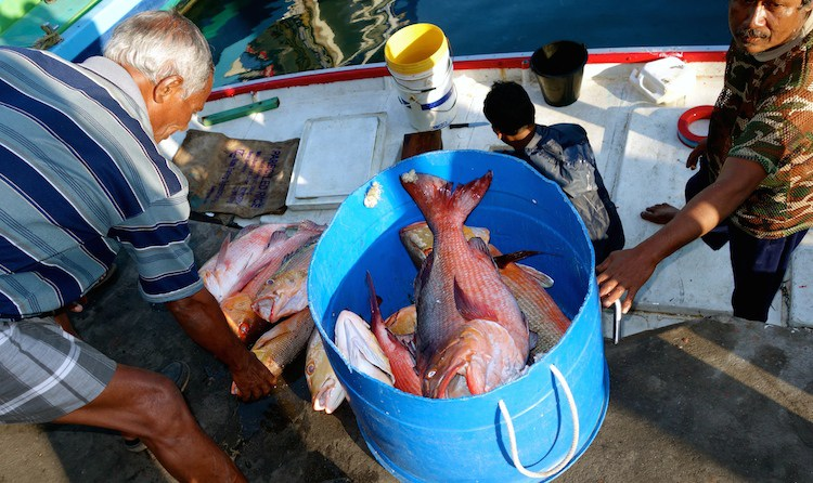 Fische und Fischer am Hafen von Male. Red Snapper und andere Fische werden am Markt von Male, Malediven, entladen. Bild copyright Petra vom Blog http://myworldsalad.com/