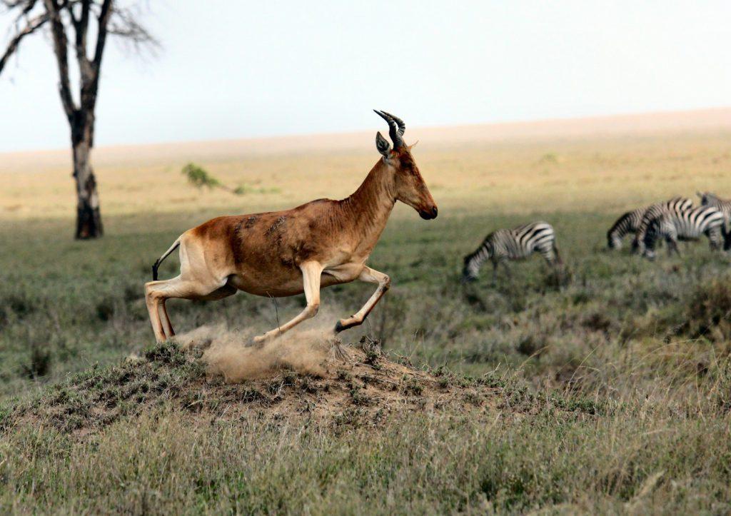 Safari. Zebras und Red Hartebeest - by joel herzog on unsplash.com