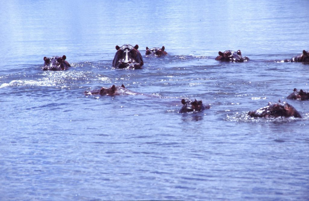 Hippos (Flusspferde) in Malawi