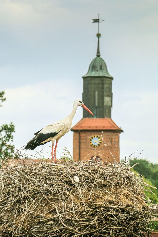 Storch in Rühstädt - copyright UNESCO Biosphärenreservat Flusslandschaft Elbe-Brandenburg Lukas Häuser
