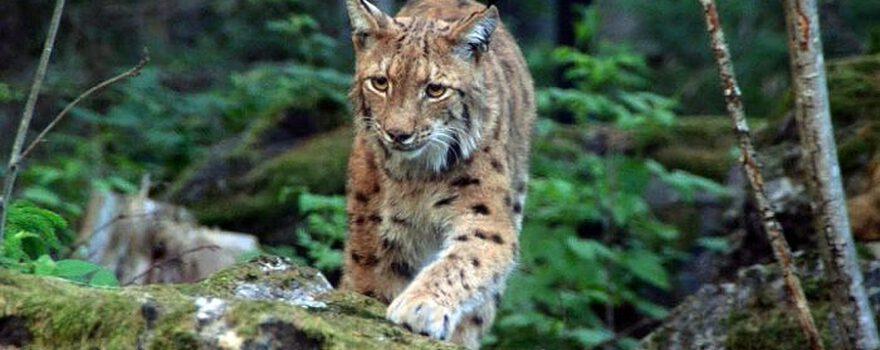 Luchs-im-Nationalpark-Lusen-Bayerischer-Wald-Bild-copyright-Alwin-Pelzer