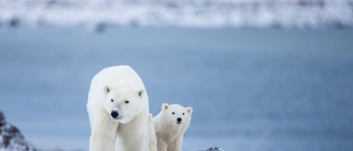 Polar Bear mom and cub Credit Canadian Tourism Commission