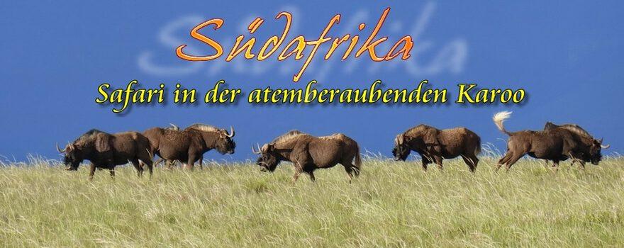 Samara Wildreservat - Gnu, Black Wildebeest Südafrika