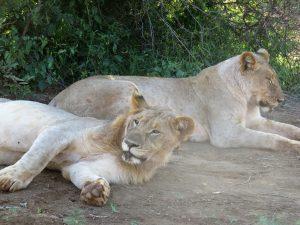 Löwe Jacis Lodge Madikwe