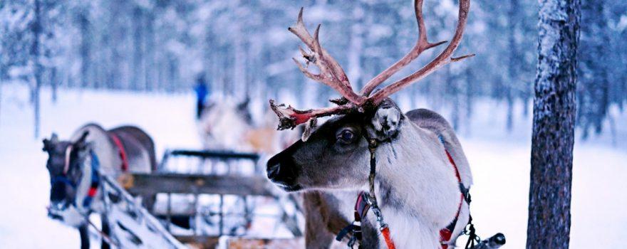Rentier, Ivalo, Inari, Finnland - Foto Norman Tsui