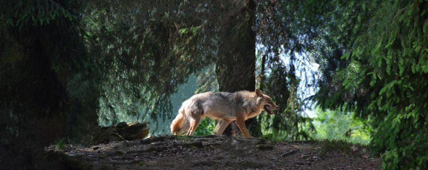 Absoluter Glücksfall, wenn Dir ein Wolf so vors Objektiv läuft – Foto Alwin Pelzer