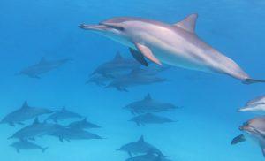 Delphin - Foto copyright Roxana R.F.V, Marsa Alam, Ägypten