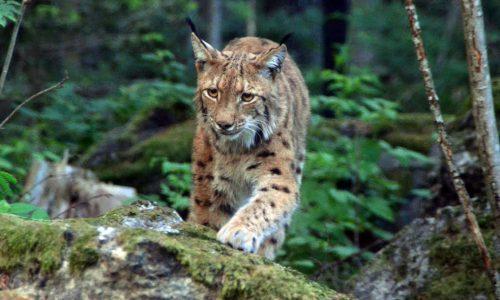 Luchs im Nationalpark Lusen, Bayerischer Wald, Bild copyright Alwin Pelzer