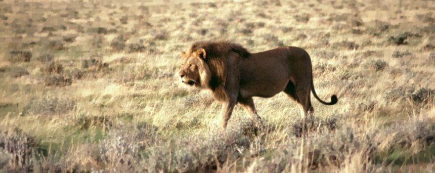 Namibia Etosha Pfanne Löwe am Morgen